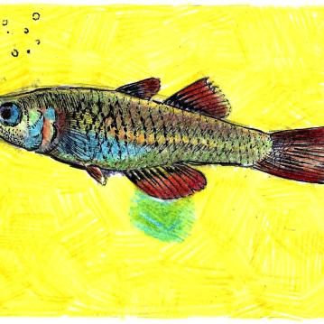 "Scaturiginichthys vermeillipinnis. Mechanical pencil, colored pencil, gel pen on card stock. 5.5"" x 4.25"""
