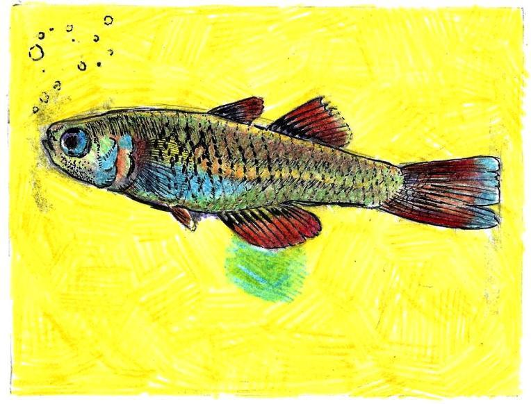 "Scaturiginichthys vermeillipinnis. Mechanical pencil, colored pencil, gel pen on card stock. 5.5"" x 4.25"""